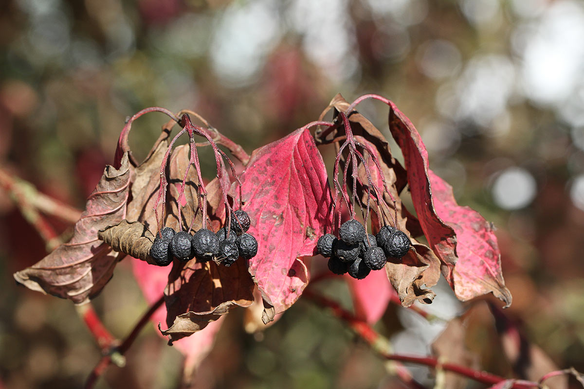 Hartriegel im Herbst III