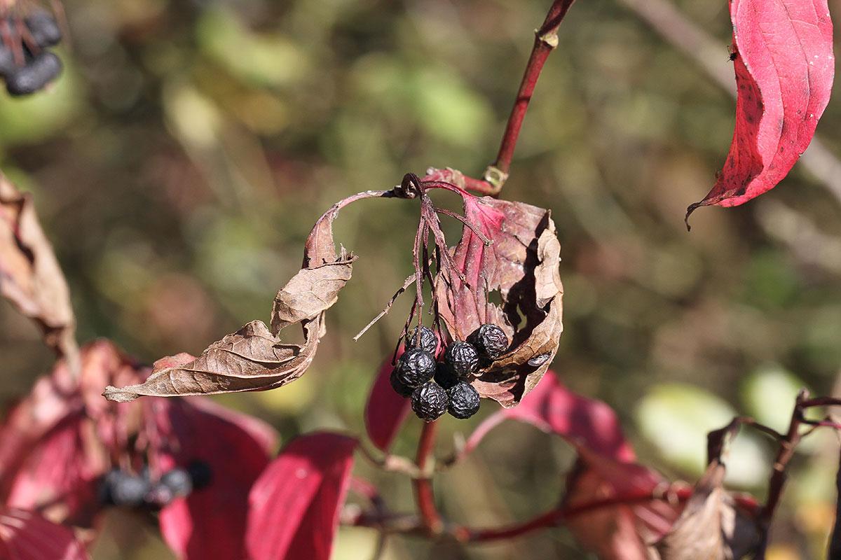 Hartriegel im Herbst IV