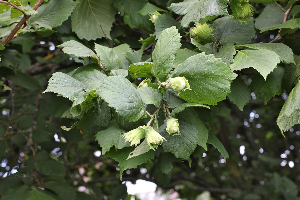 Haselstrauch mit grünen Nüssen