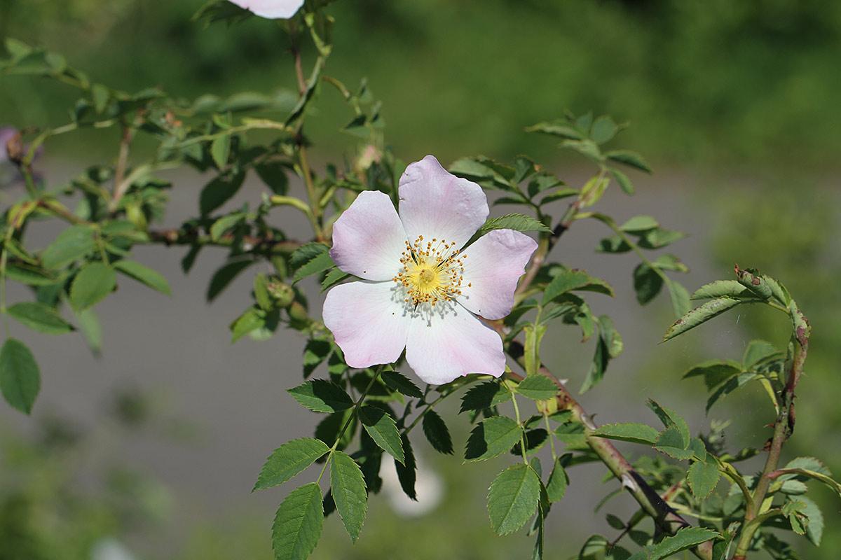 Heckenrosenblüte II