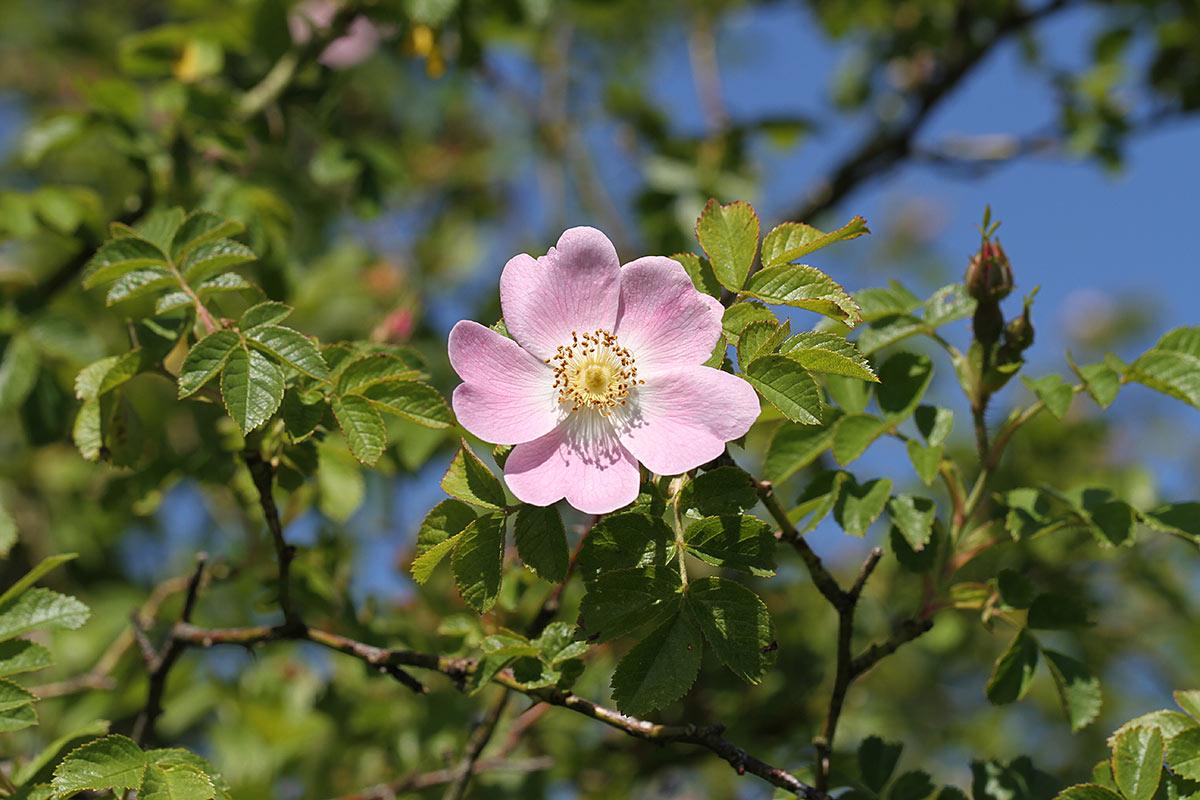 Heckenrosenblüte III