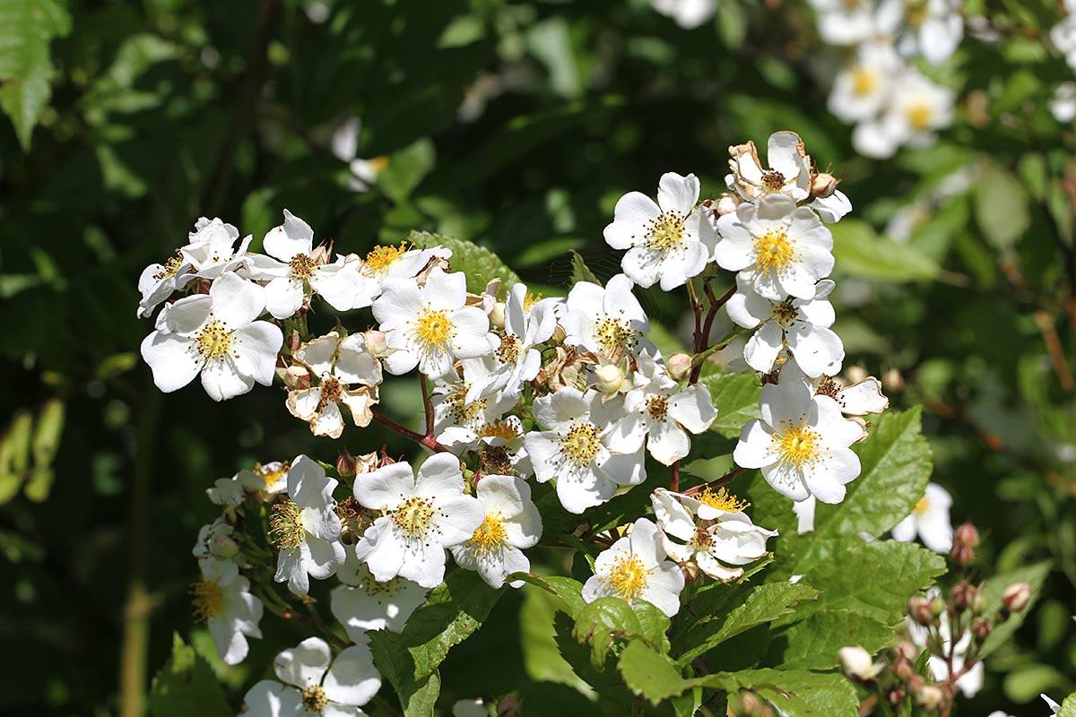 Heckenrosenblüte V