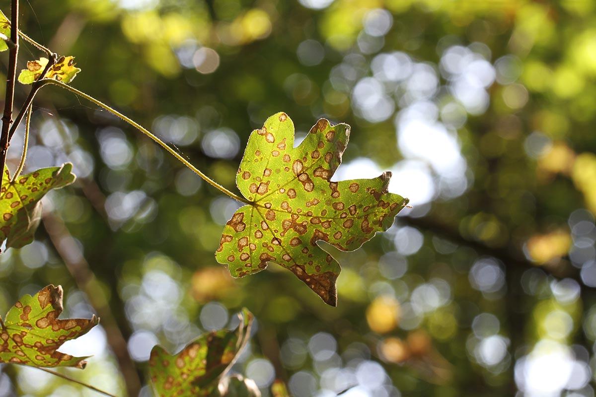 Feldahornzweig im Herbst