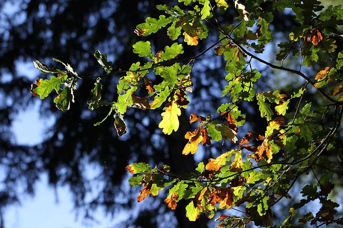 Herbstliches Eichenlaub im Gegenlicht
