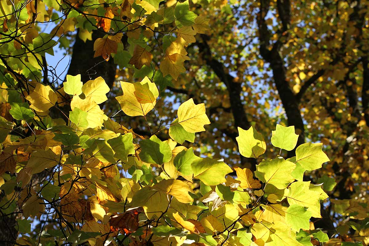 Herbstliches Tulpenbaumlaub im Gegenlicht