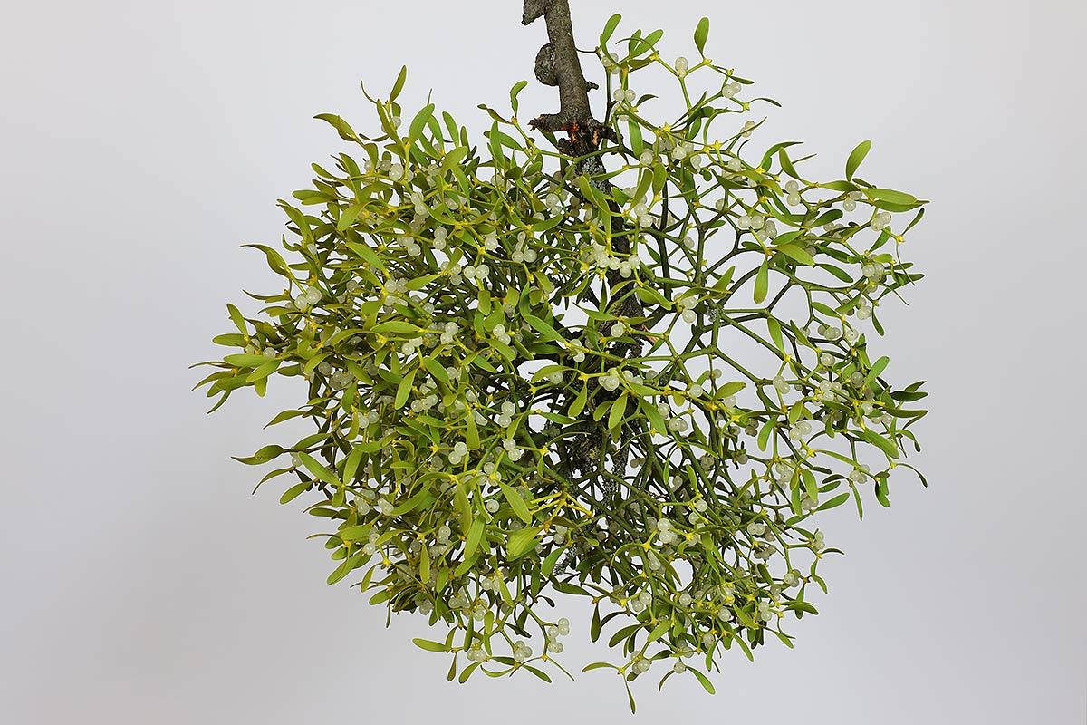 Apfelbaum-Mistel I