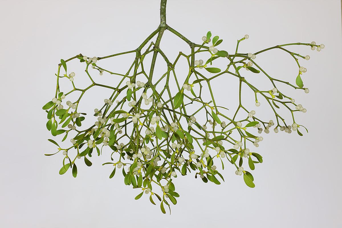 Zweig einer Apfelbaum-Mistel
