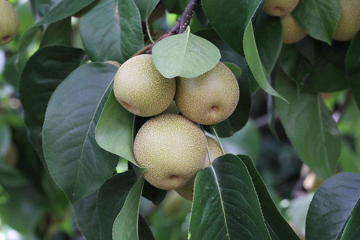 Nashi-Früchte im Sommer
