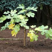Feigenbaumpflanzung 2015, aus: Neue Gartenbaumarchitektur