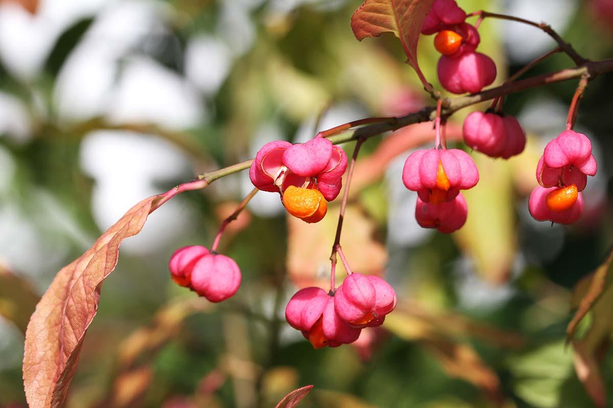 Pfaffenhütchen zu Herbstbeginn 1