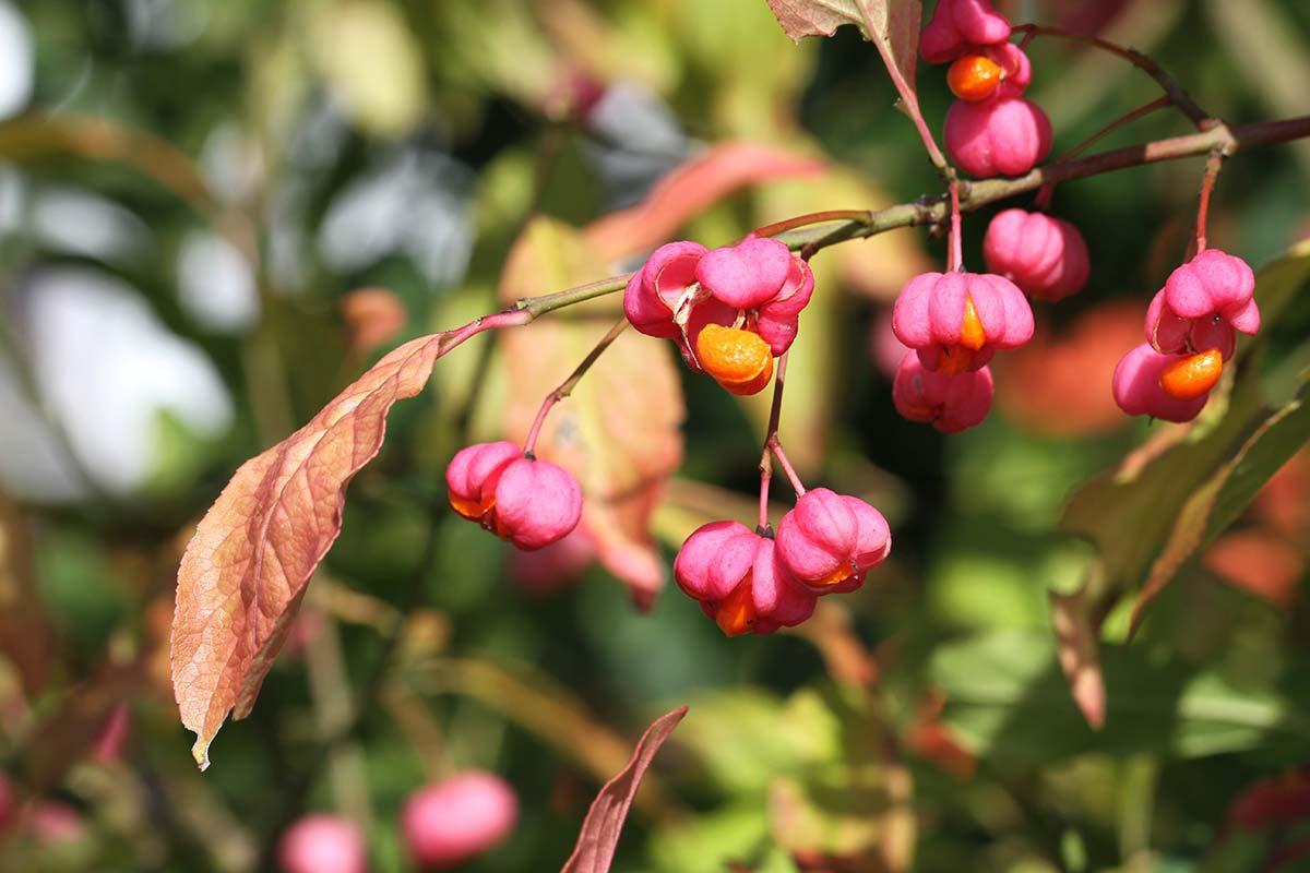 Pfaffenhütchen zu Herbstbeginn 3