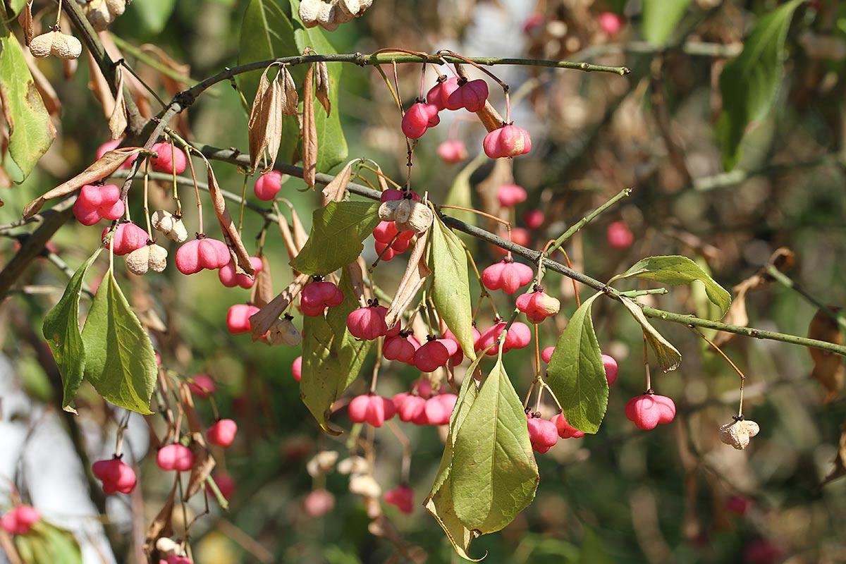 Pfaffenhütchenzweig mit teils verblassten Fruchtkapseln