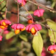 Reife Pfaffenhütchen, aus: Ein heller und warmer, aber kein goldener Oktobertag