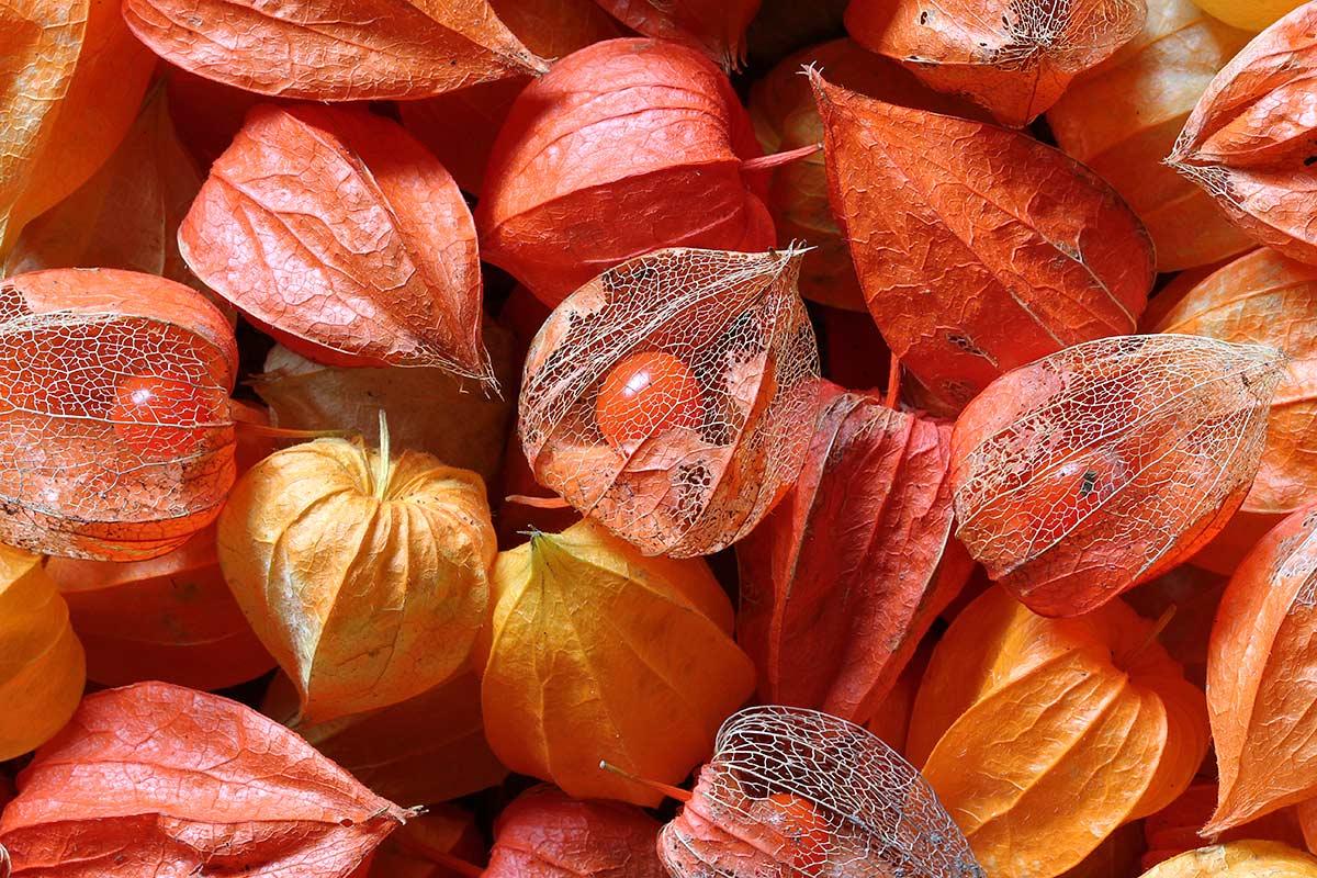 Detail von Physalis-Lampions im Herbst