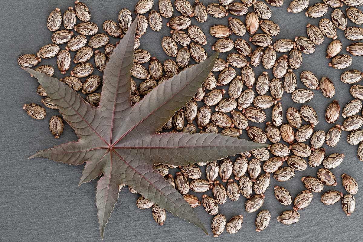 Blatt und Samen von Ricinus cummunis