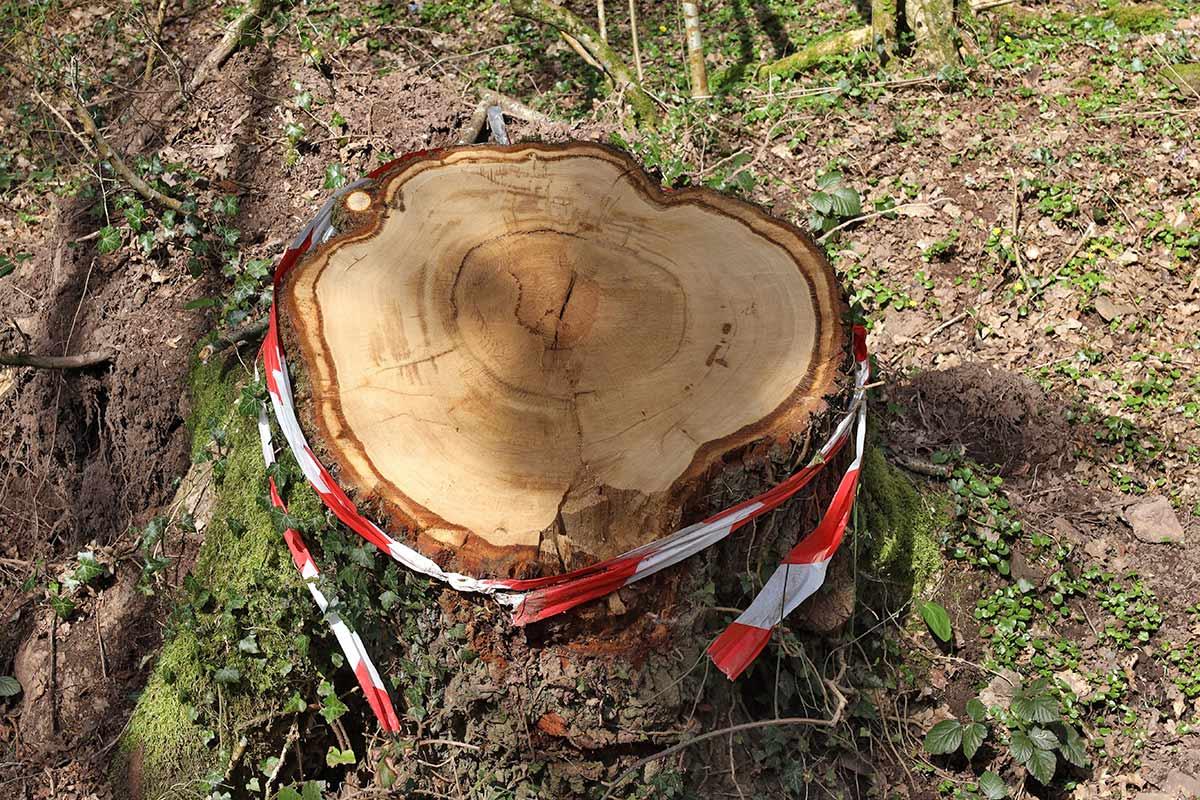 Stumpf einer alten Eiche nach Baumfällarbeiten
