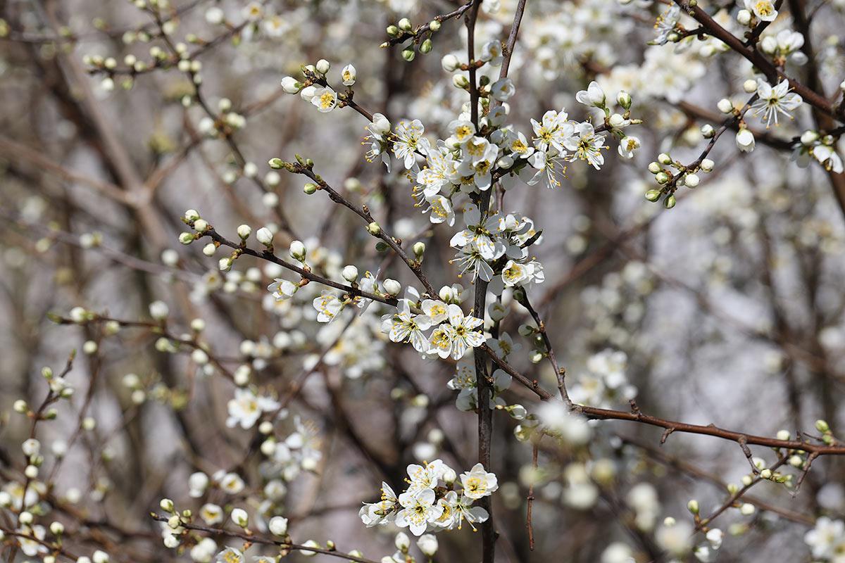 Schleedornblüte im Frühjahr 2020 III