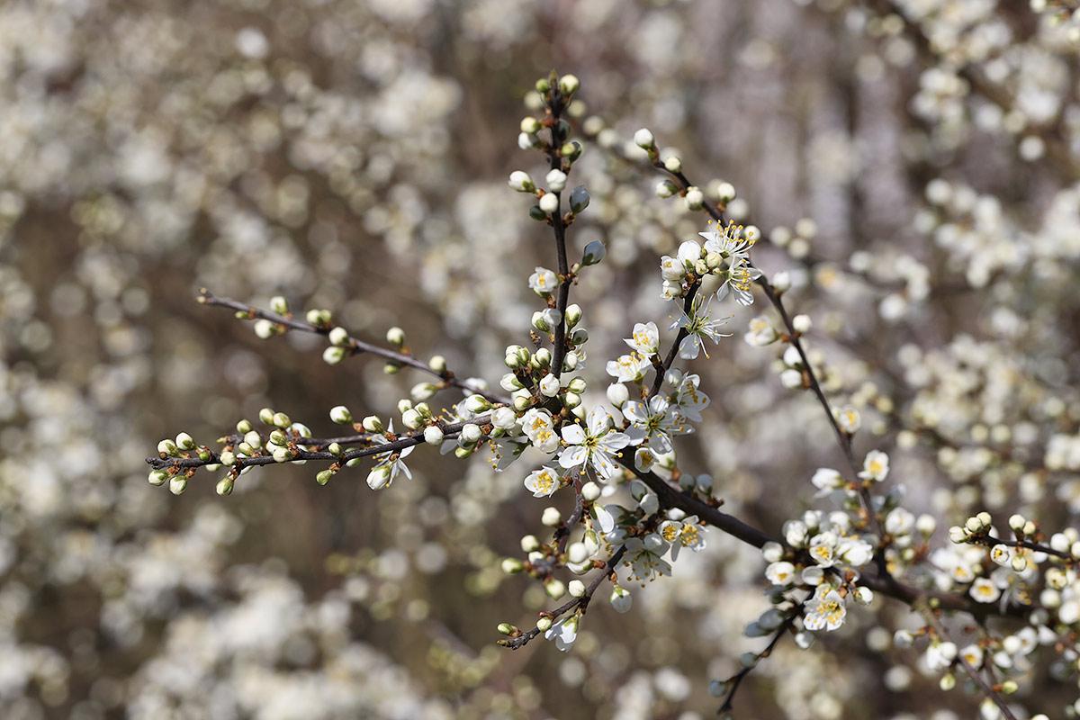 Schleedornblüte im Frühjahr 2020 I