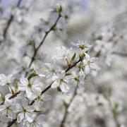 Junge Schlehdornblüte, aus: Frühlingsweiß