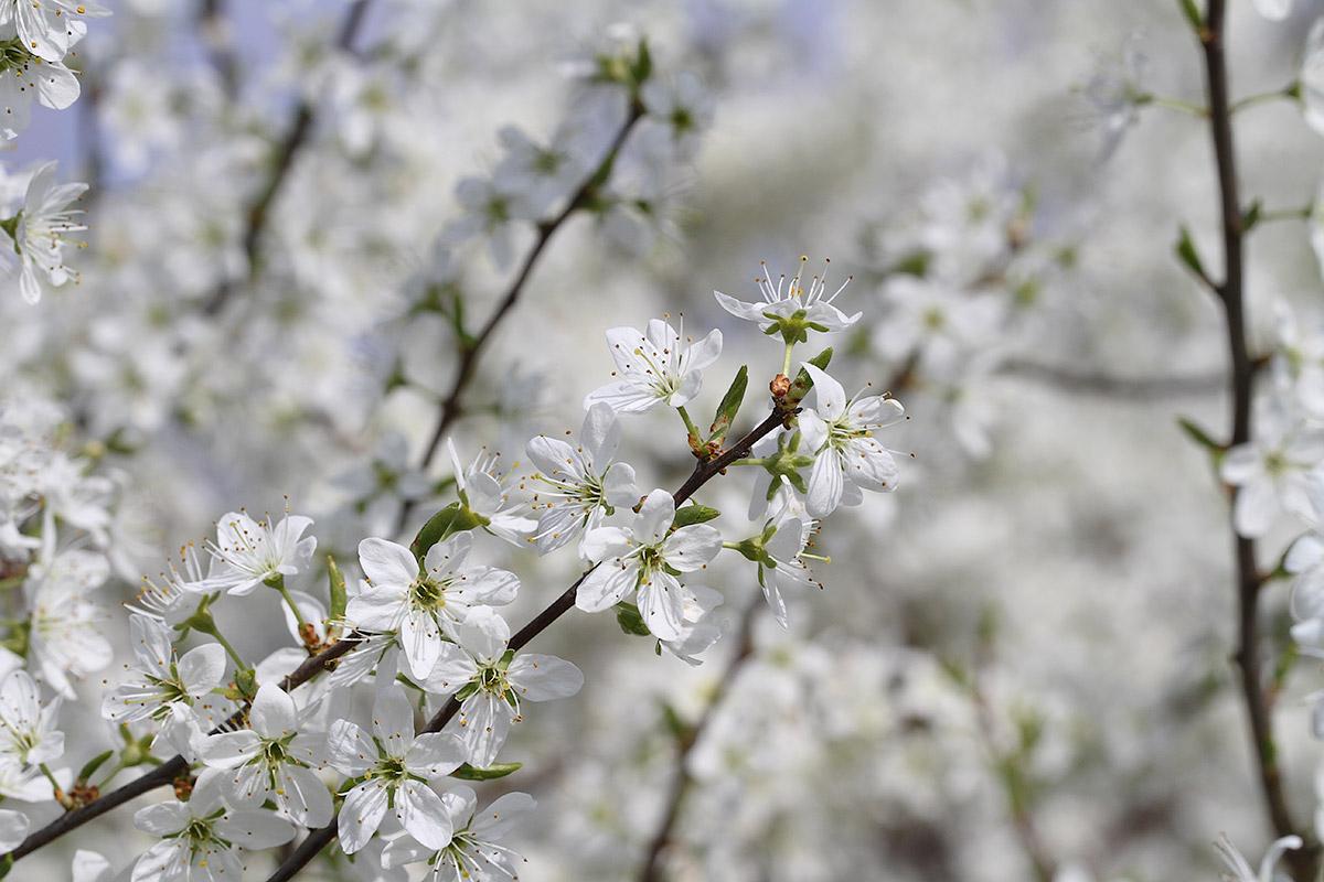 Junge Schlehdornblüte