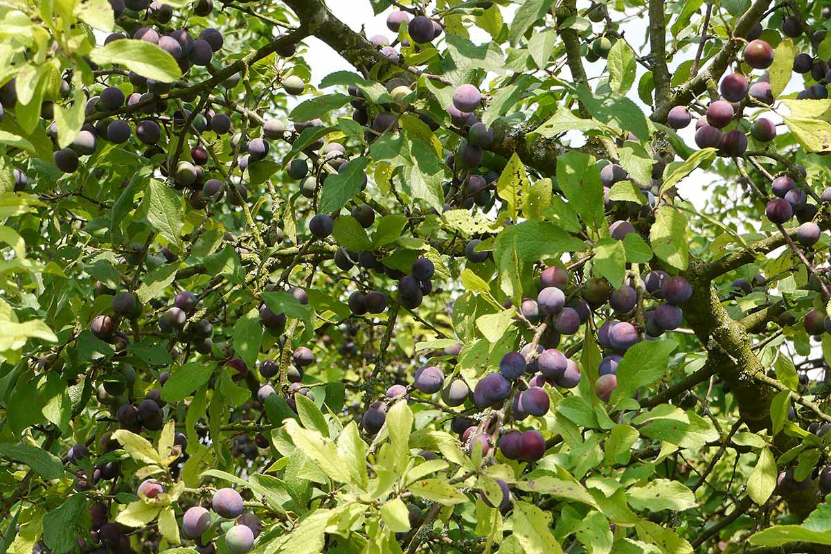 Reifende Früchte des Schlehdorns