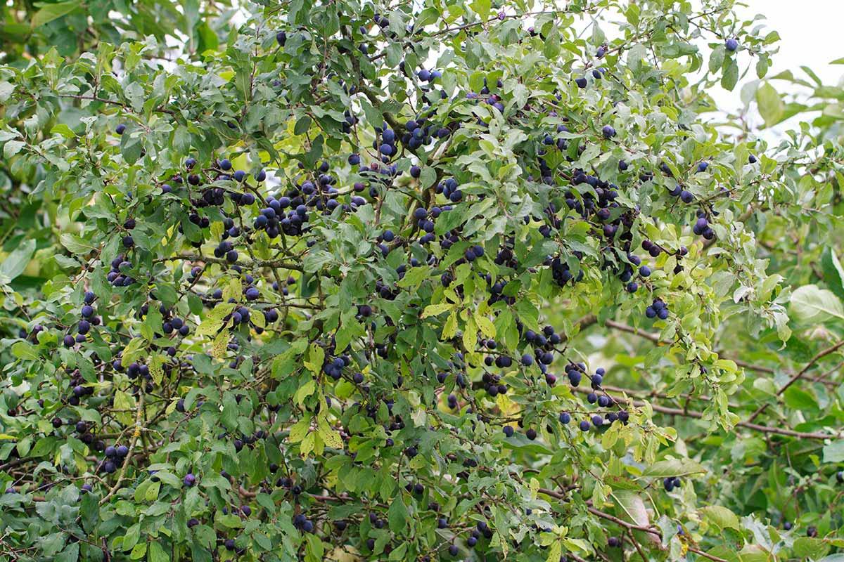 Fruchttragender Schwarzdorn