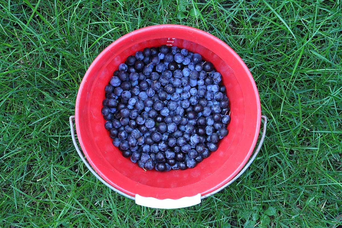 Frisch gesammelte Schlehenfrüchte