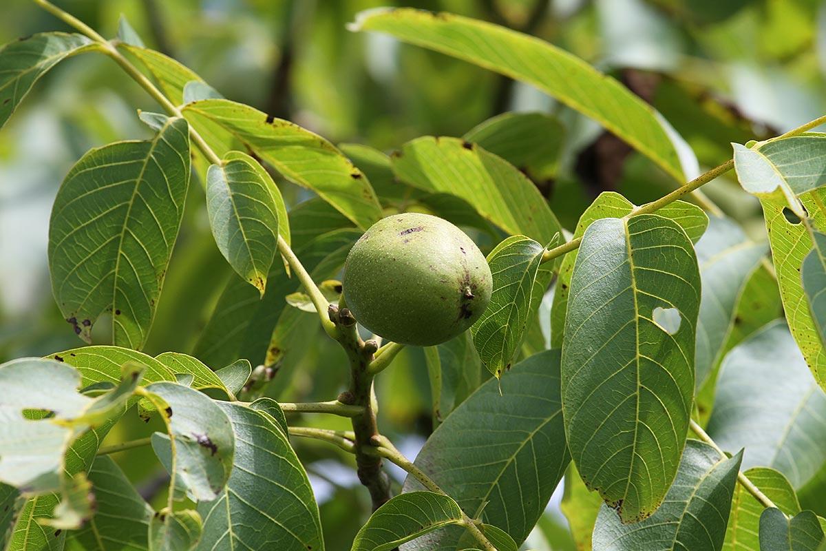 Walnussbaumzweig mit grüner Nuss im Hochsommer
