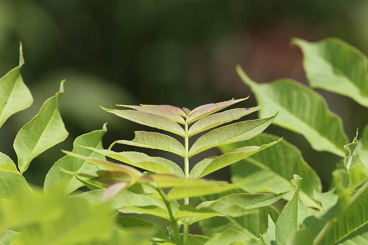 Blätterimpression im Hochsommer