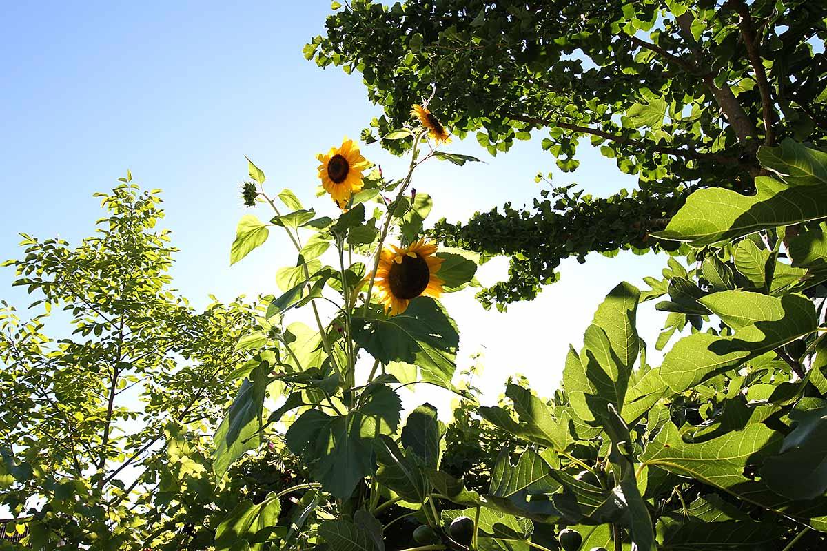 Sonnenblume neben Ginkgo, Feigenbaum und Walnussbaum