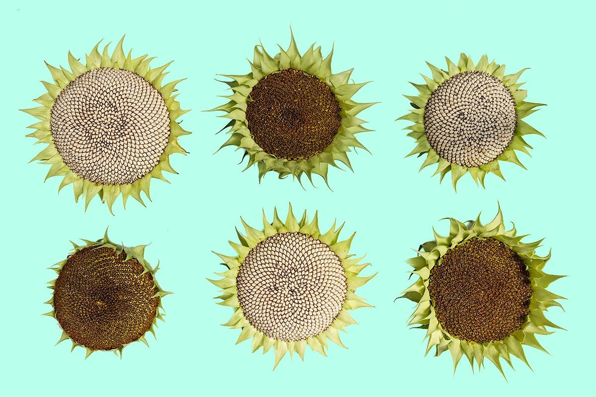 Stillleben mit reifen Sonnenblumen width=1200 height=800 /></div></div></div></div></div></div><div class=