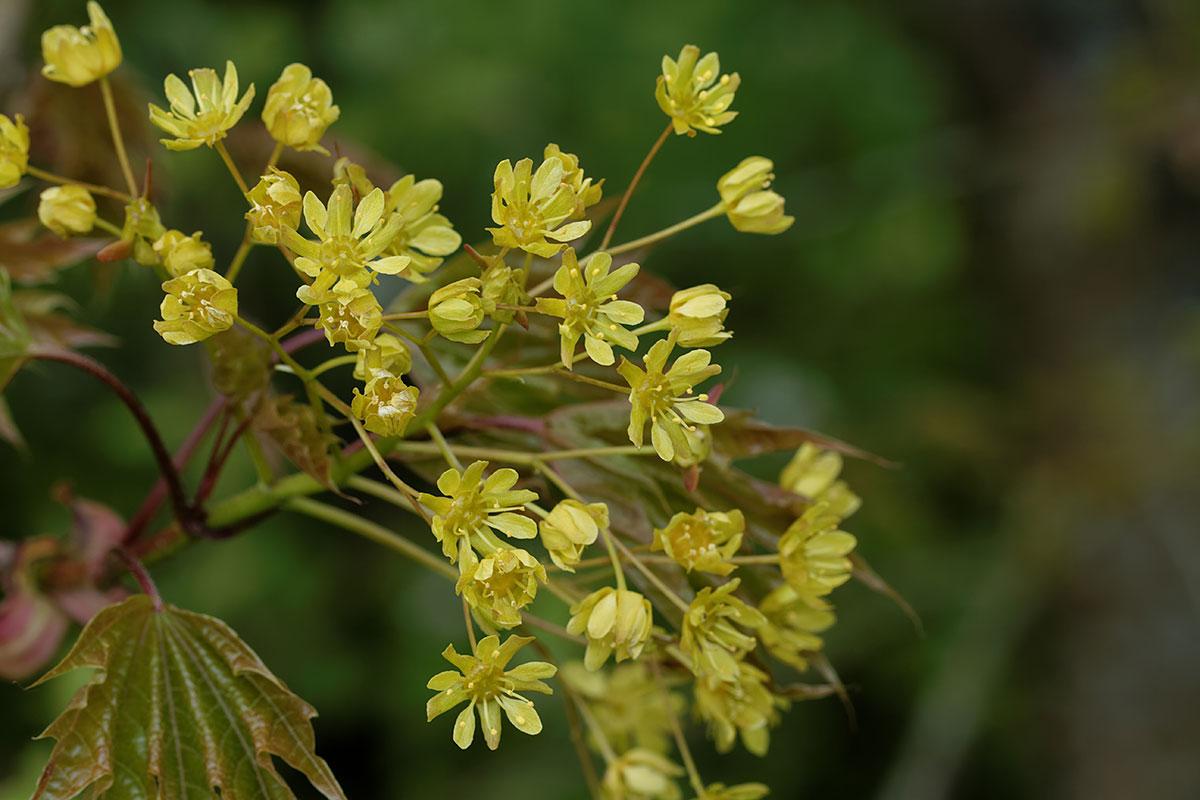 Frische Blüte des Spitzahorns