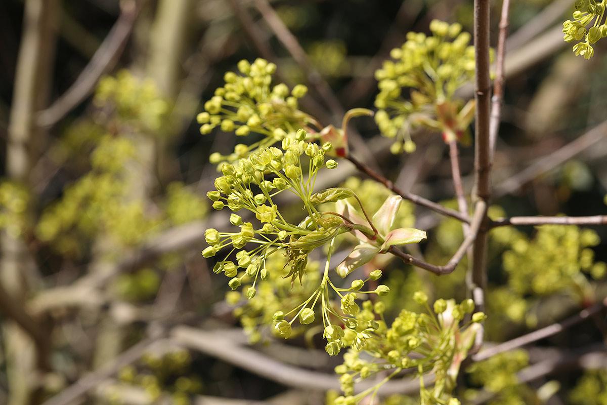 Frühe Spitzahornblüte