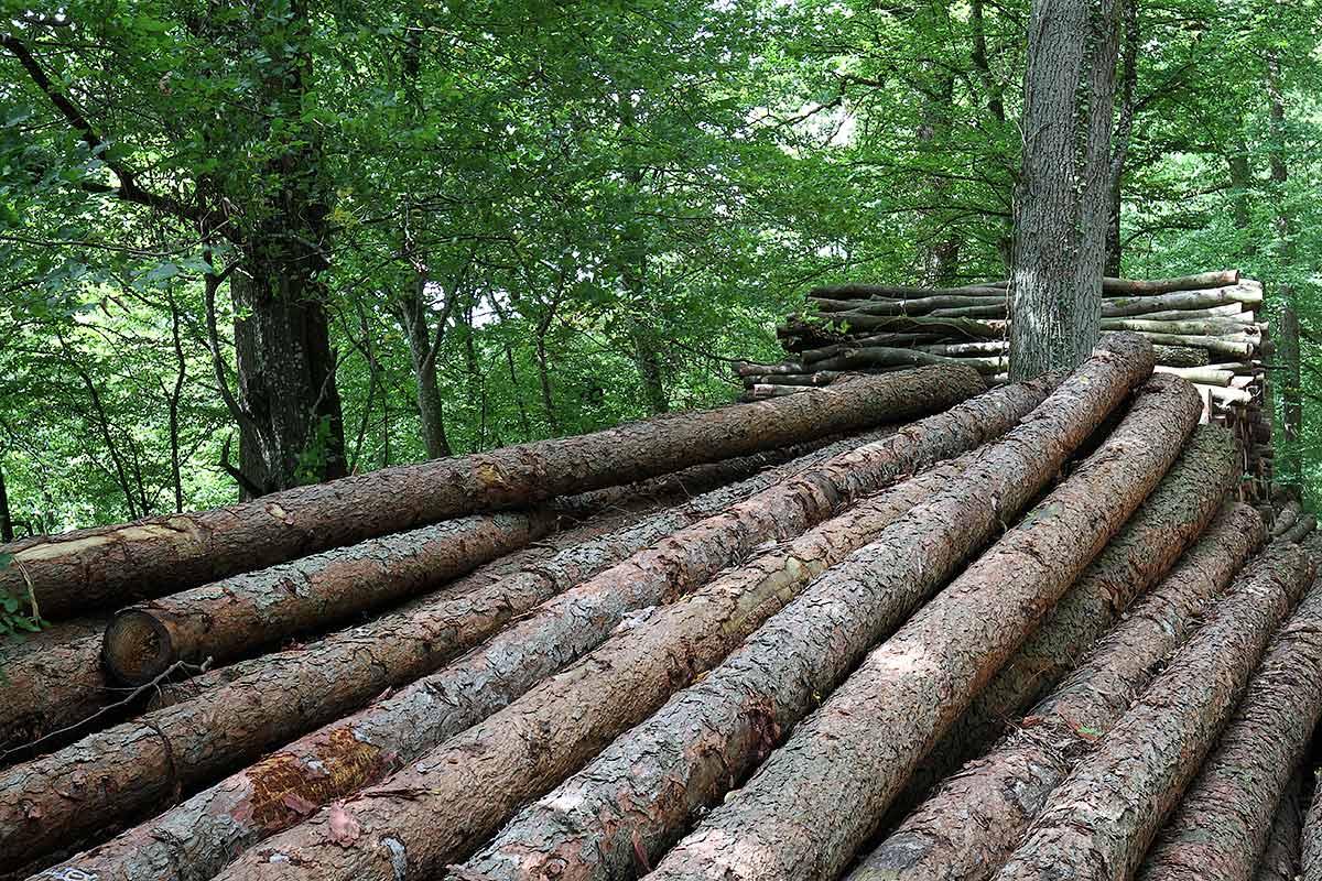 Aufgeschichtete Holzstämme am Waldrand 3
