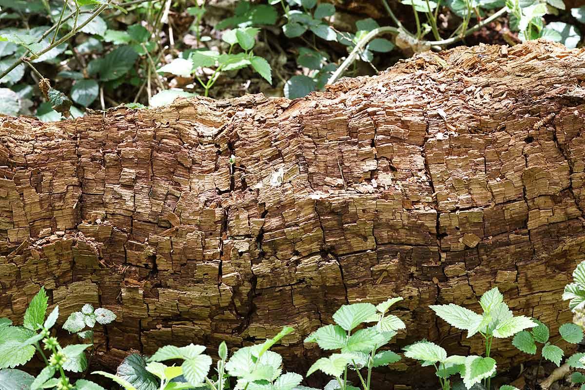Totholzabschnitt von einem Eichenstamm I