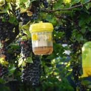 Insektenfangbehälter unter Weinreben, aus: Früher Start der Weintraubenlese