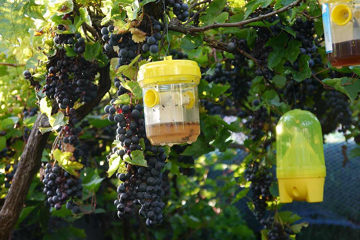 Insektenfangbehälter unter Weinreben