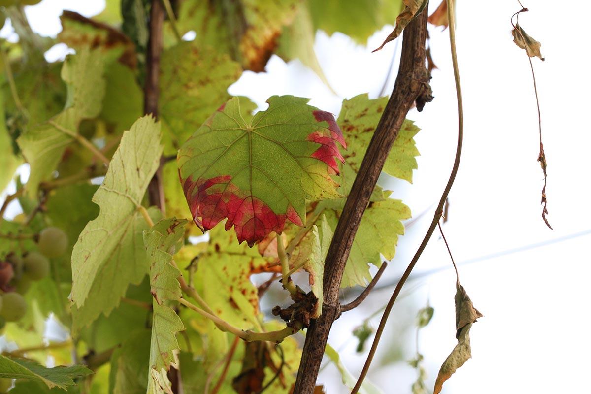 Spätsommerliches Weinlaub