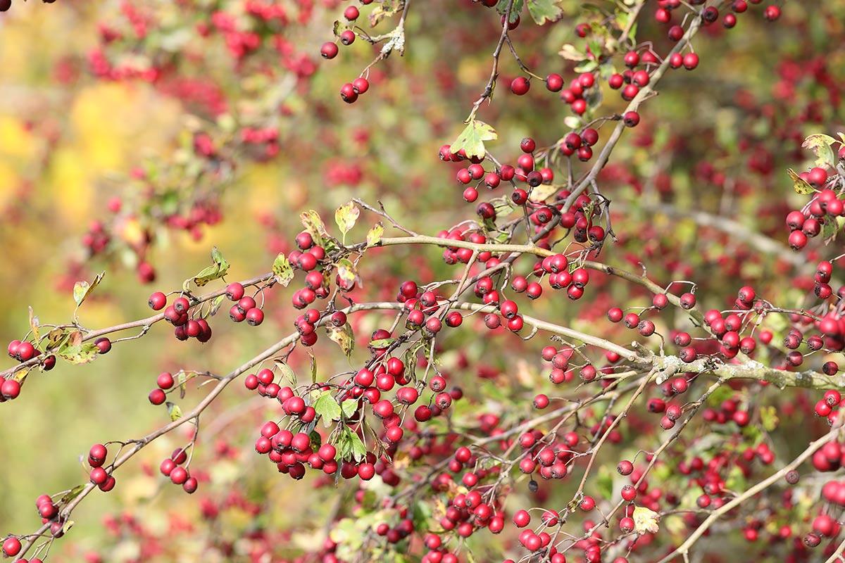 Zweig des Weißdorns mit reifen Früchten im Spätherbst