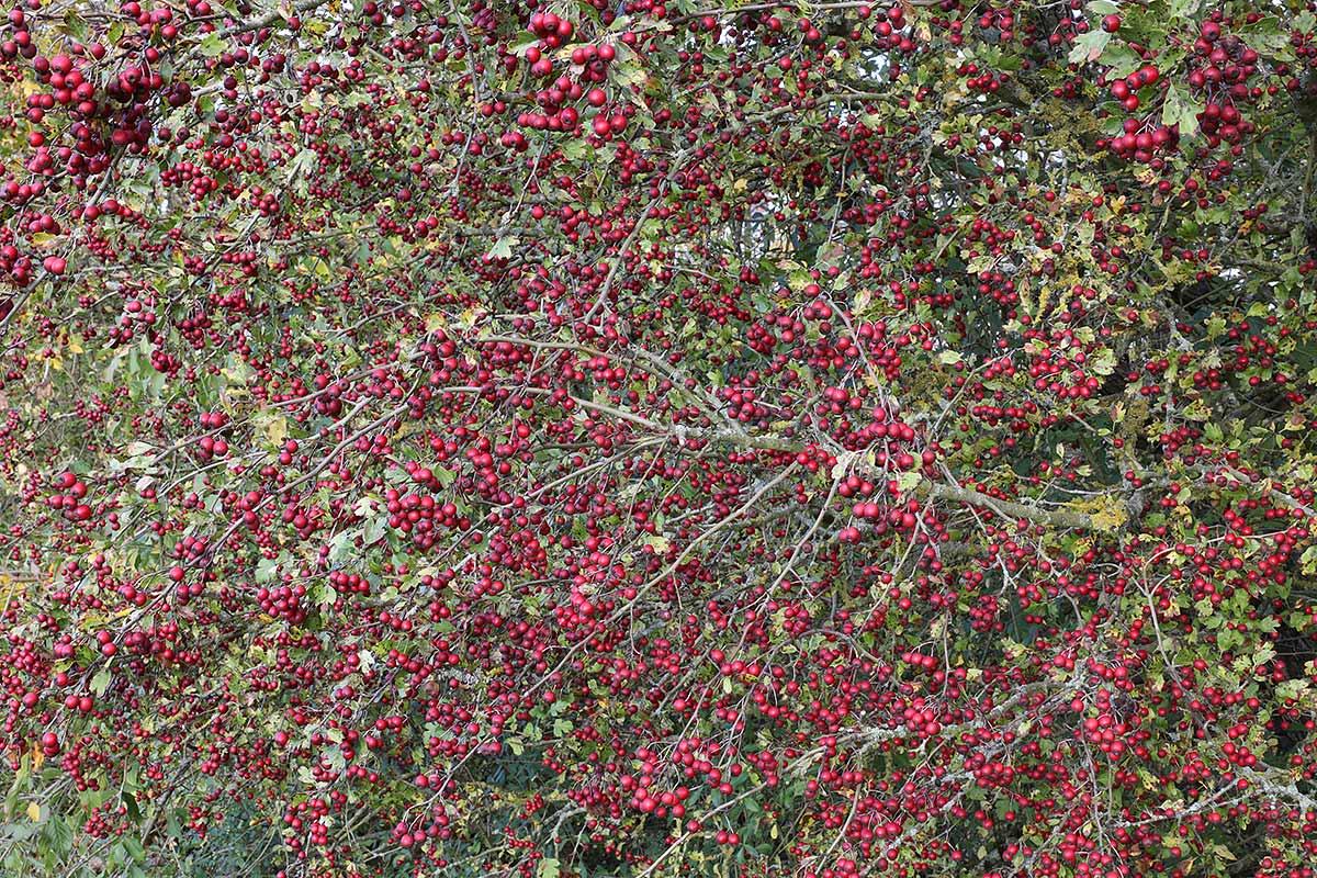 Weißdornzweig mit Früchten im Spätherbst
