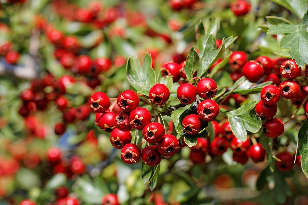 Zweig des Weißdorns mit Früchten im Herbst