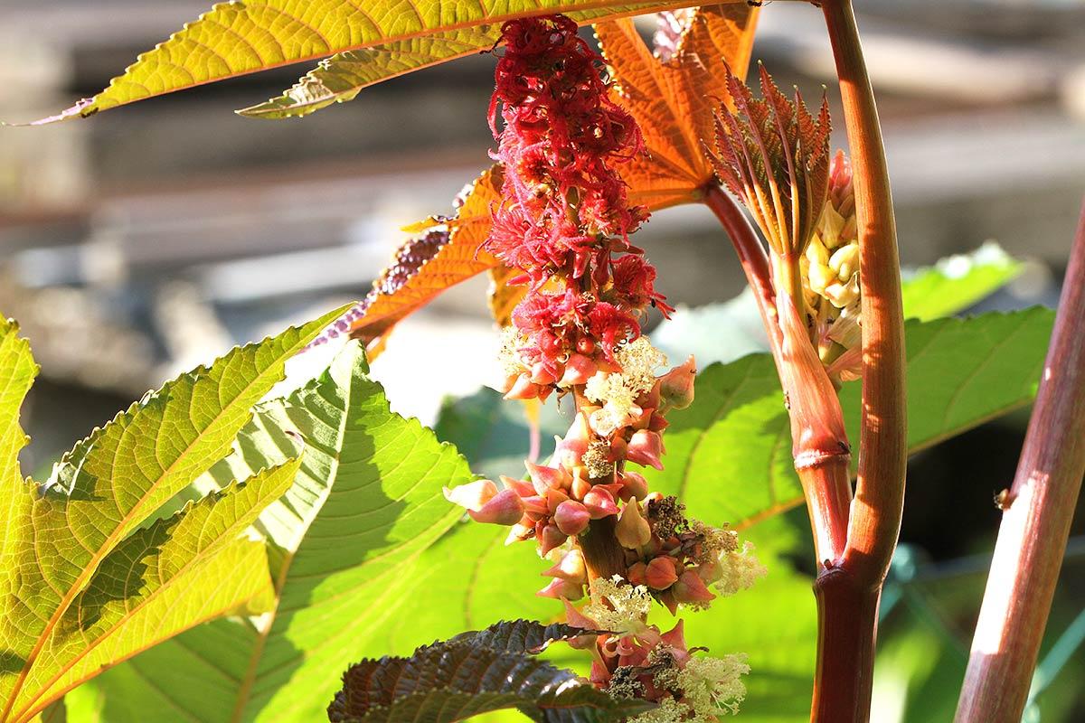 Detail eines Rizinus I, aus: Rizinus Wunderbaum